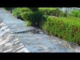Варан забрел на территорию отеля Амбассадор в Тайланде=)